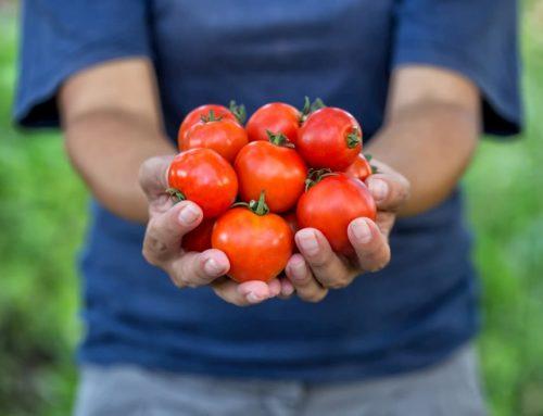Ayuda a los productores de tomate de exportación